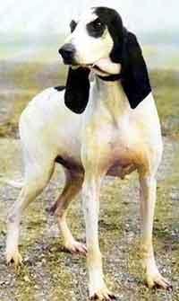 ariegeois le chien de chasse