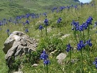 iris des pyrenees