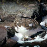 lagopede alpin, perdrix des neiges, poule de montagne ariege pyrenees