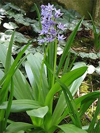 la jacinthe des Pyrenees, fleur bleu